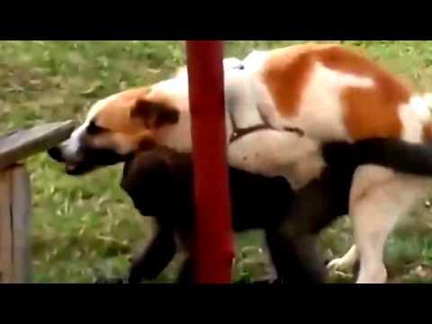 jangan ditonton... anjing kawin dengan monyet.. bikin ngakak