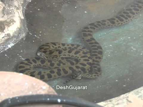 Xxx Mp4 Anaconda Arrives In Amdavad 3gp Sex