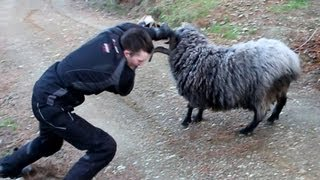 Angry ram finds 2 more victims.
