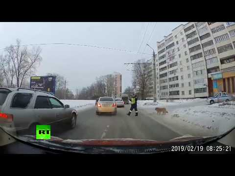 Xxx Mp4 Russian Cop Stops Traffic To Help Injured Dog Cross The Street 3gp Sex