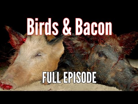 Hog & Bird Hunting with Air Rifles Birds and Bacon