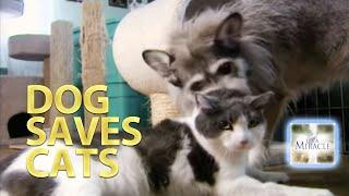 Dog Saves Cats - Miracle Cats