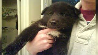 After This Man Adopted A Wolf Dog Puppy, He Soon Realized He'd Made A Terrible Mistake