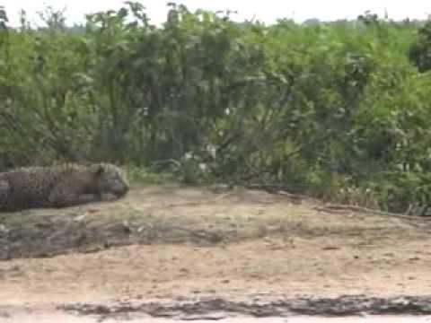 Brazilian Jaguar hunt underwater a Capybara in a natural wetland of Mato Grosso