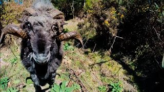 Angry ram takes down a drone... and its owner