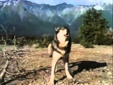 Ujku shpeton njeriun nga ariu.