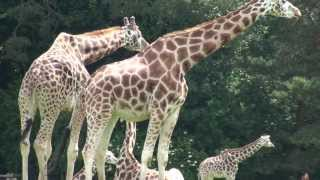 Beautiful Rothschild Giraffes (Full HD)