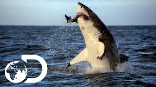Incredible Footage of Sharks Leaping Out the Water