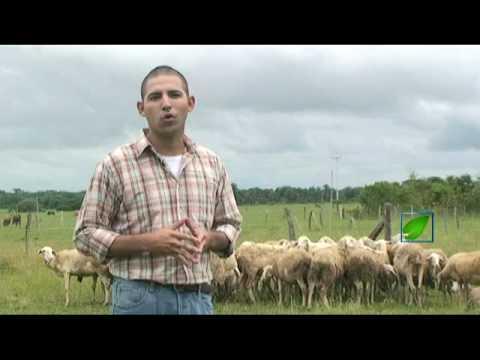 Cría de ovejos para carne