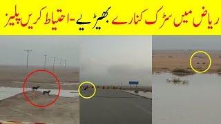 Wolves In Riyadh Saudi Arabia   Latest Saudi News Urdu Hindi Today With Arab Urdu News