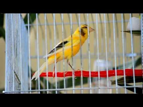 تغريد الكناري canary singing ماشاء الله لاقوة الا بالله