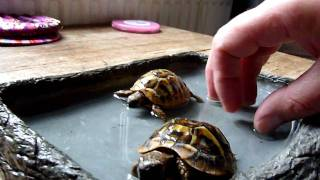 Bath Time For Tortoises, But One Gets A Face Plant!