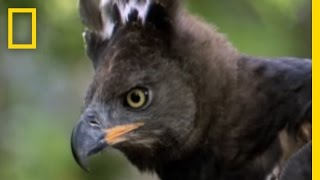 Escaping an Eagle Attack | National Geographic