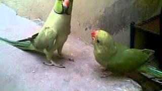 parrot Mithu baten