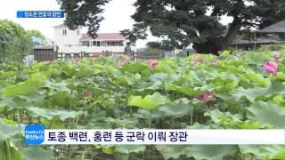 장안연지, 청초한 연꽃의 향연(CJ헬로비전 부산방송)