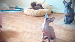 Sphinx Cats 😹 Funny Hairless Cats [Funny Pets]