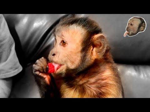 Xxx Mp4 Capuchin Monkey Taste Test Raspberry Strawberry 3gp Sex
