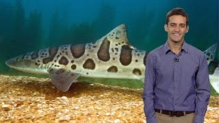 Andrew P. Nosal (Scripps/UCSD): Not Just on Vacation: Why Leopard Sharks Hang Out in La Jolla