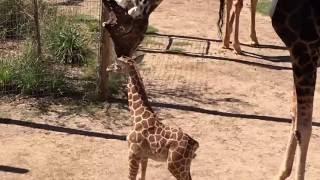 Baby giraffe meets 18-foot-tall Dad