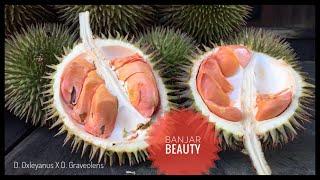 Berburu Durian Merah/Banjar Beauty (D. Oxleyanus X D. Graveolens) Ke Pedalaman Kalimantan