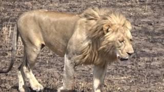 Le roi Lion dans la savane, Tanzanie, sept 2016