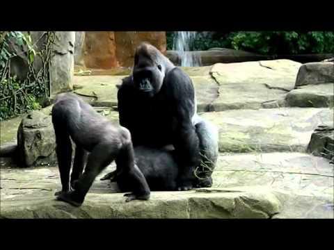 Xxx Mp4 King Gorilla Sex 3gp Sex