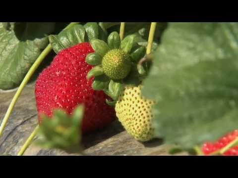 Xxx Mp4 California Strawberry Harvest 3gp Sex