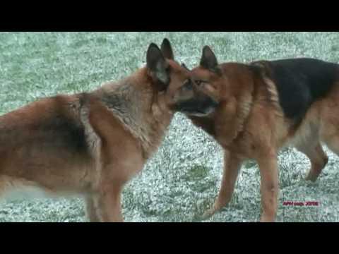Owczarki miłość prawdziwa German shepherd true love HD Pokoje w górach Jarnołtówek
