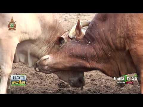 นครศรีฯ ศึกวัวชนเงินรางวัล 6 ล้าน 08 06 59 เช้าข่าวชัดโซเชียล ThairathTV