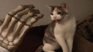 Cat hissing at evil toy hand