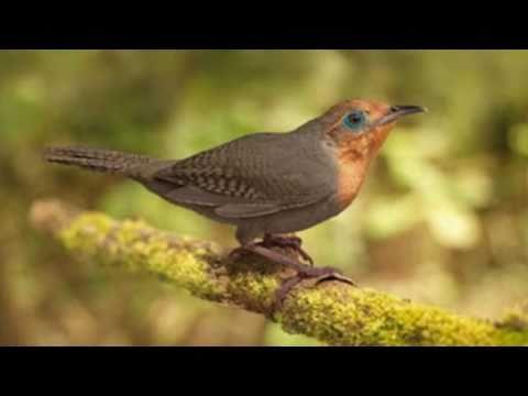 The Sing of Birds O Cantar dos Pássaros
