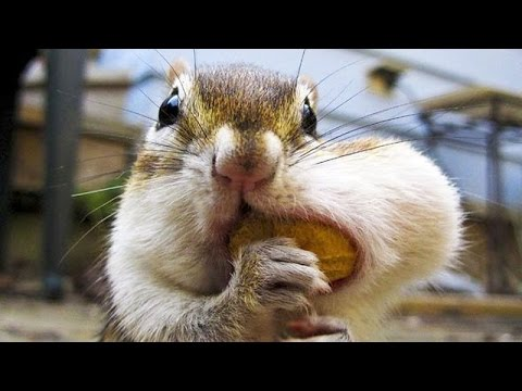 Best and funniest squirrel & chipmunk videos Funny and cute animal compilation