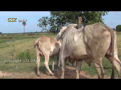 Wow! Amazing Man Breed Cow in cambodia How to breds cows in my Country  #6