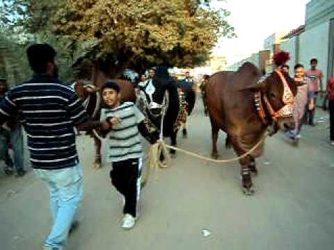Qurbani in Landhi 2011 Taha taking all 3