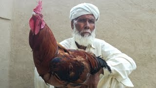 Rooster Chicken | Country Chicken Recipe / Village Traditional Style Cooking / Chicken Curry
