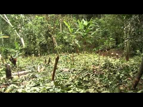 Producción de Cacao en Sistemas Agroforestales en Palcazu Perú