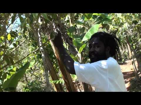 Plantation of Marihuana Nine Miles Jamaica