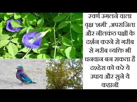 स्वर्ण उगलने वाला वृक्ष 'शमी' ,अपराजिता और नीलकंठ पक्षी के दर्शन करने से गरीब भी धनवान बन सकता है