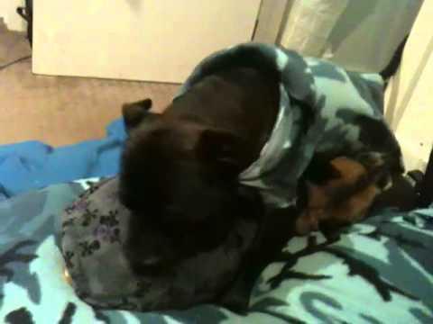 Homosexual Gay Dogs - Mating Ritual