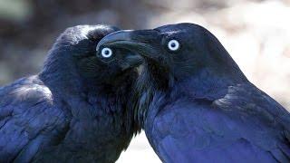 اعرف اكثر| الغراب اذكى انواع الطيور!