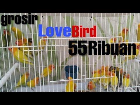 Grosir Lovebird 100rebuan Ter cihuy dan paling digemari gadis-gadis cantik dan manis.