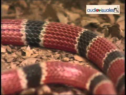 Serpiente de Coral. Un reptil tropical 2010
