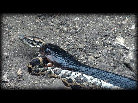 Indigo Snake Eats Python 02 - Snake Cannibalism