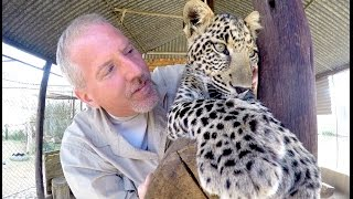 Black Spotted Leopard Versus Caracal - Big Cats Play Attack & Wrestle Friend At Cat Breeding Center