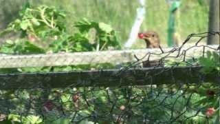blackbird stealing redcurrants