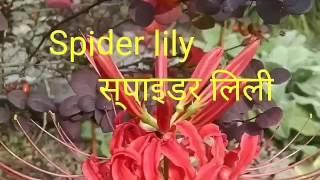 NO_39 How to grow/Care tips Spider Lily/ Hymenocallis liriosme(Hindi/Urdu)bulb grow.