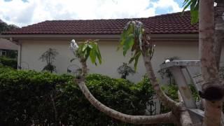 Mango tree  grafting  part 3 follow up