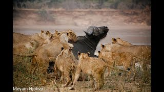 Buffalo Attack Lion and (KILL) - Lion VS. Buffalo Battle