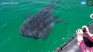 Whale Sharks | Baja California | Lindblad Expeditions-National Geographic