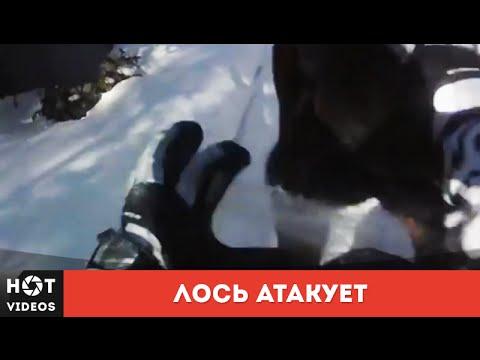 Xxx Mp4 Атака лося Злой лось зарядил копытами в грудь HOT VIDEOS Смотреть видео HD 3gp Sex